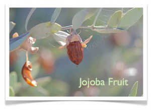 Jojoba fruit peeling nails 300x218 Why Do Nails Peel and Split?